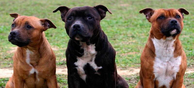 Gossos potencialment perillosos