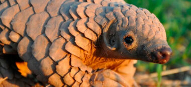Foto portada: el fòssil de pangolí. Autor: ICP.