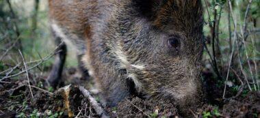 Foto portada: un porc senglar, a Collserola. Foto: Tot Sant Cugat.